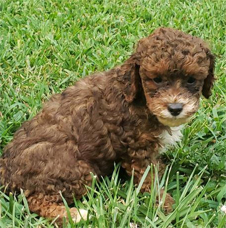 Toy Spaniel Poodle