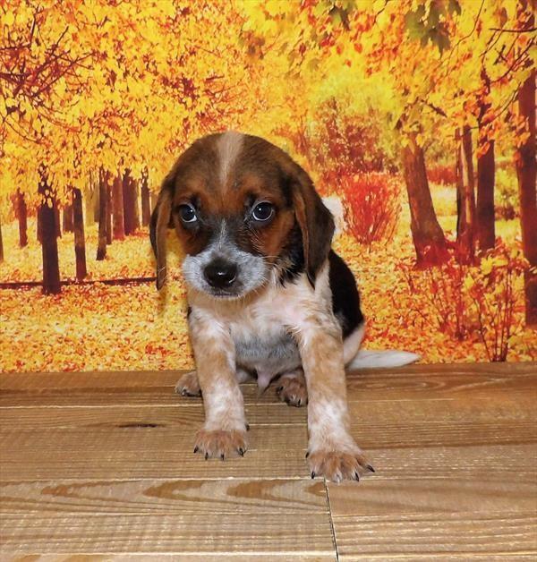 Beagle 21858-01