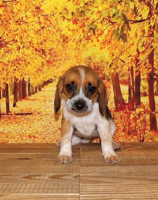 Beagle 21858-06