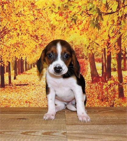 Beagle 21858-07