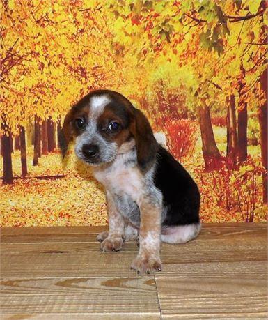 Beagle 21858-04