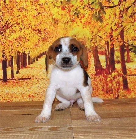 Beagle 21858-03