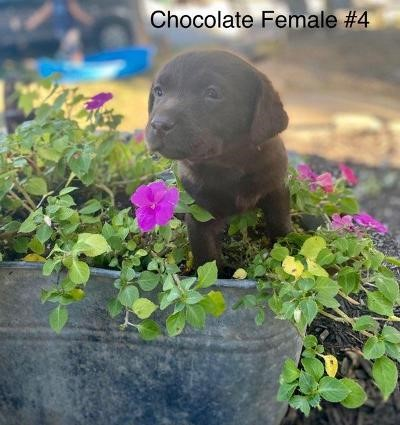 Gorgeous Female Chocolate Lab #4