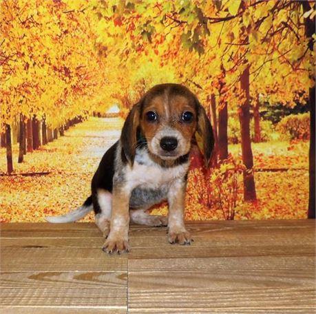 Beagle 21858-08