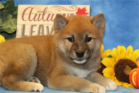 Cuddly Dudley--Red Sesame Male UABR
