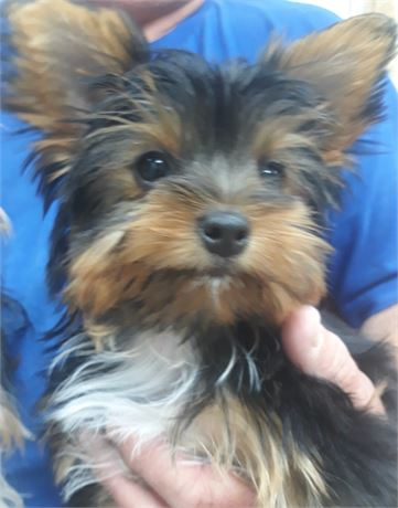 Small and Sweet Female Yorkie (Precious)