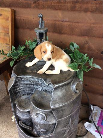 Lemon/White female beagle