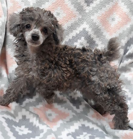 Meet (Gracy) super sweet awesome Merl Toy Poodle