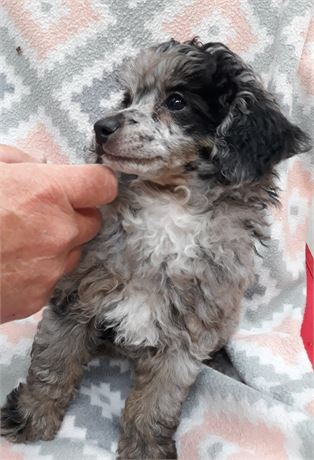 Meet (Lil Bear) super sweet awesome Merl Toy Poodle