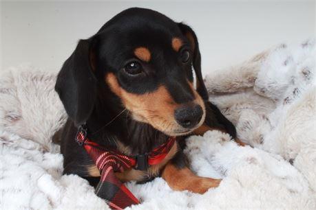 Cute Doxie Boy 21169-2