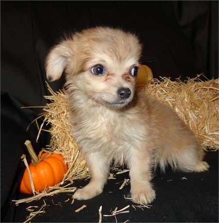 Chihuahua - Jenna's (F)  1 lb 13 oz on 10/23 at 12 weeks old