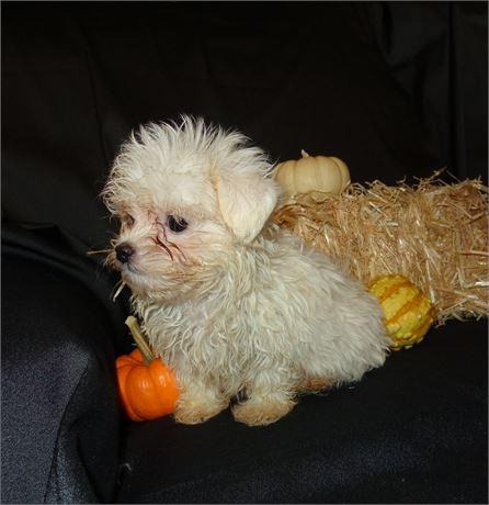 Maltese - Sheba's # 1 (M)  1 lb 9 oz  on 10/23 at 9 weeks old