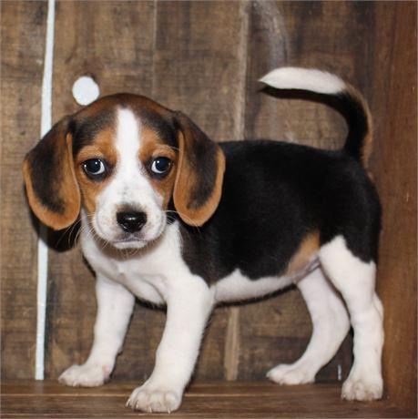 2170-03 Beagle