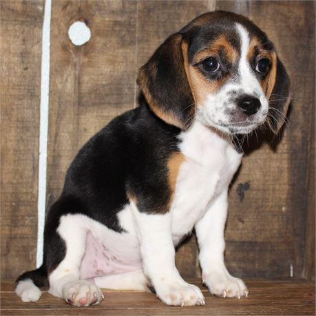2170-04 Beagle