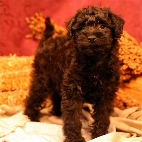 F Schnoodle #0463