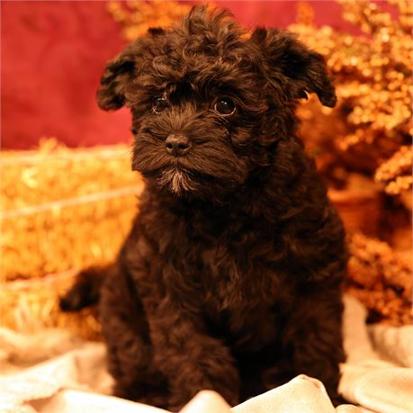 F Schnoodle #5462