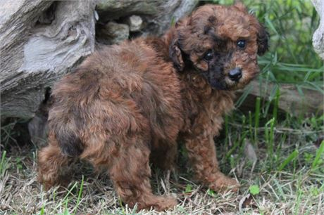 OUTSTANDING RED MERLE BABY GIRL!!! L@@K AT HER BEAUTIFUL EYES!!!