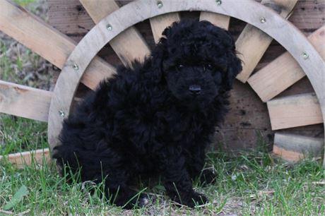 GORGEOUS BLACK PHANTOM BABY BOY!!! L@@K AT HIS BEAUTIFUL EYES!!!