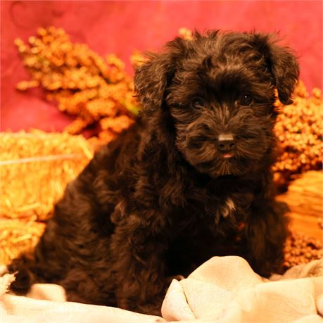 F Schnoodle #5225